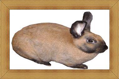 Gambar kelinci Cinnamon