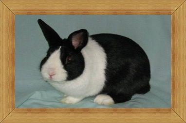 Gambar kelinci Dutch Rabbit
