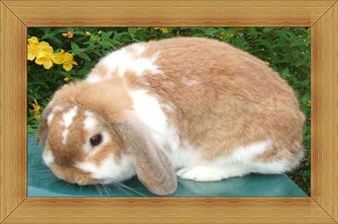 Gambar kelinci Dwarf Lop