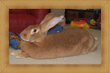 Gambar kelinci Flemish Giant