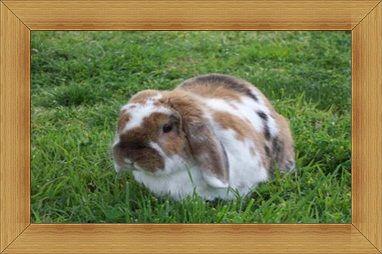 Gambar kelinci French Lop