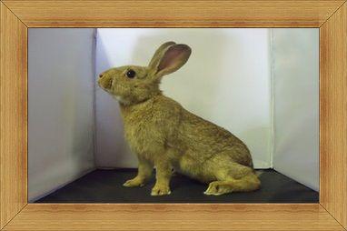 Gambar kelinci Golden Glavcot
