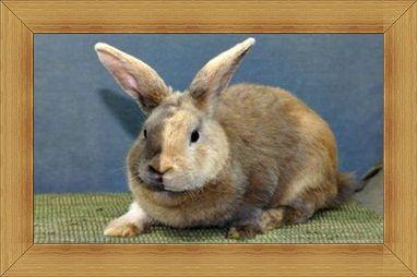 Gambar kelinci Harlequin