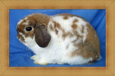 Gambar kelinci Holland Lop