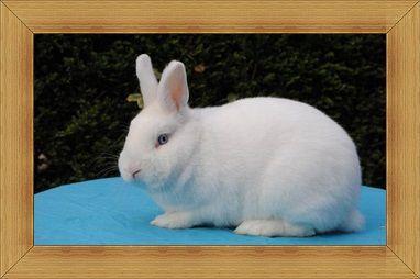 Gambar kelinci Hulstlander