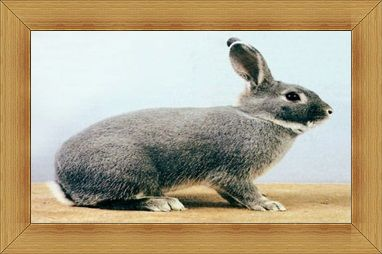 Gambar kelinci Perlfee