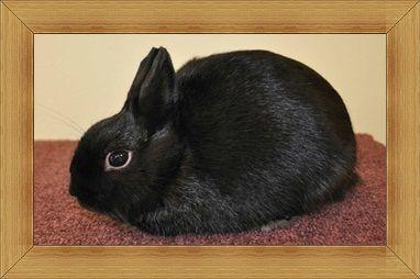 Gambar kelinci Polish Rabbit