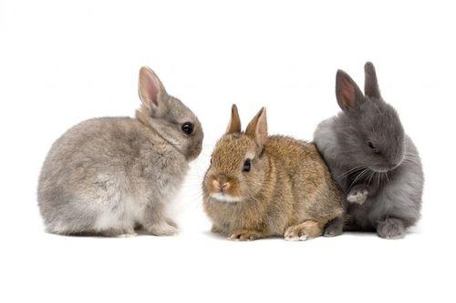 Gambar kelinci kerdil Belanda
