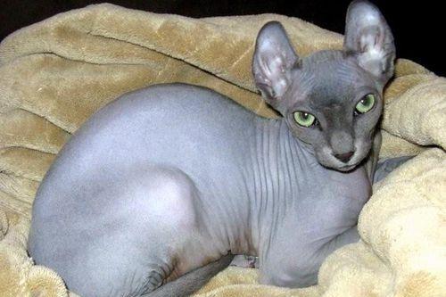 Gambar kucing Elf