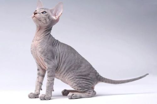 Gambar kucing Peterbald