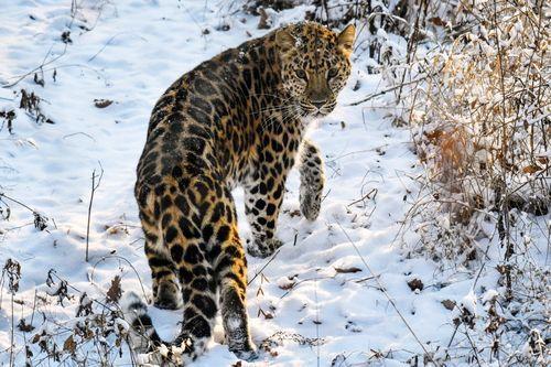 Gambar macan tutul Amur