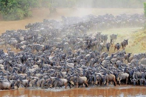 Gambar migrasi Wildebeest