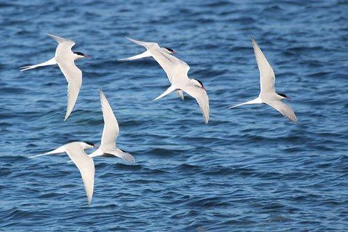 Gambar migrasi dara laut arktik