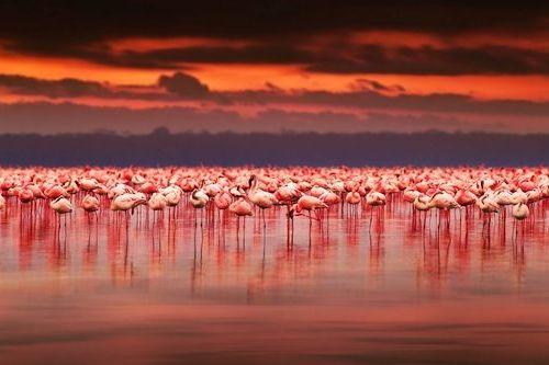 Gambar migrasi flamingo