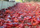 Gambar migrasi kepiting merah