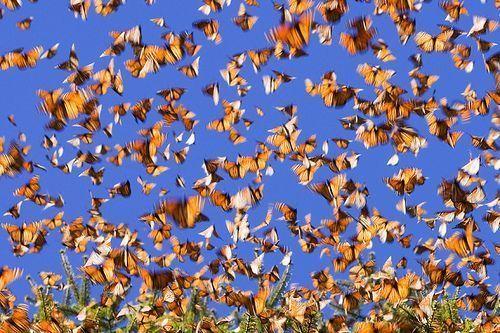 Gambar migrasi kupu-kupu raja