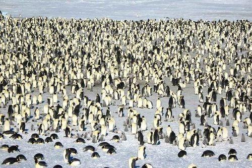 Gambar migrasi pinguin kaisar