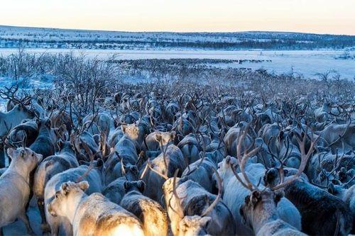 Gambar migrasi rusa kutub