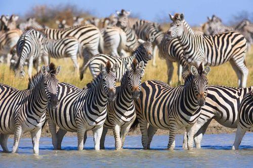 Gambar migrasi zebra