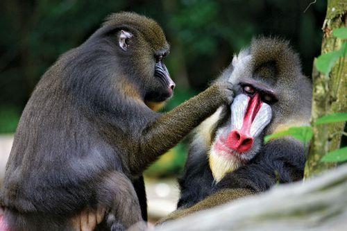 Gambar monyet dukun