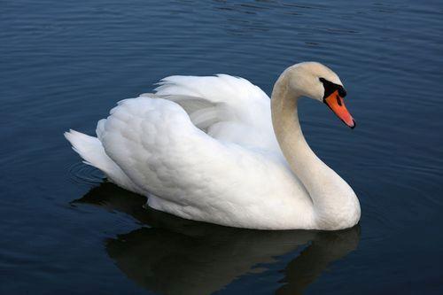 Gambar mute swan