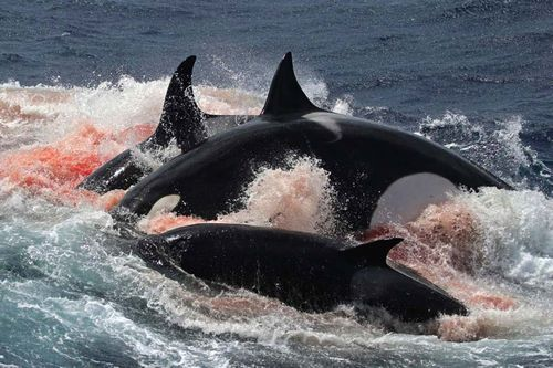 Gambar paus pembunuh 3
