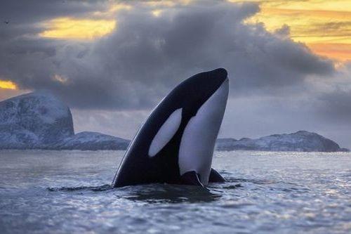Gambar paus pembunuh