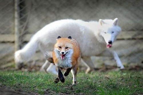 Gambar rubah dan serigala