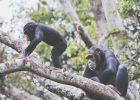 Gambar simpanse memanjat
