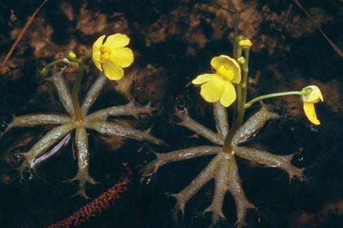 Gambar tanaman Bladderwort