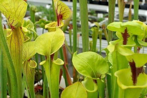 Gambar tanaman Yellow Pitcher
