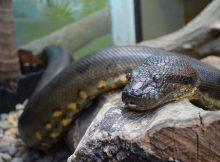 Gambar ular anaconda hijau
