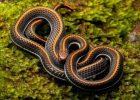 Gambar ular cabe