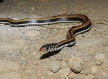 Gambar ular kisik