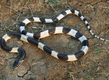 Gambar ular weling berbisa
