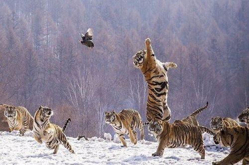 Harimau Siberia Berburu