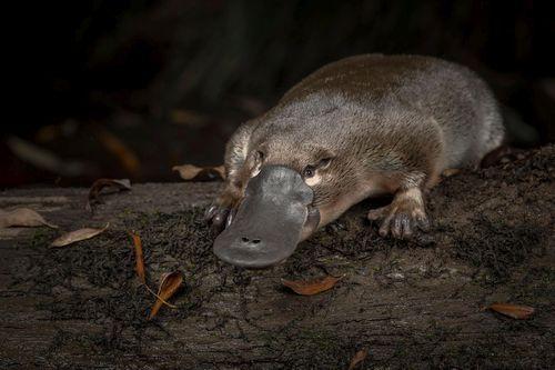 Hewan Platypus