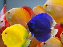 Ikan Discus