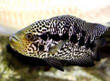 Ikan Jaguar Cichlid
