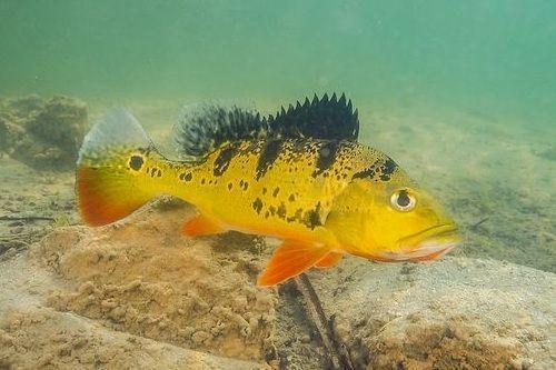 Gambar Peacock Bass