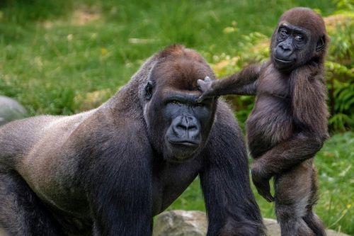 Jenis Gorila