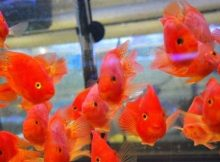 Jual Ikan Red Parrot
