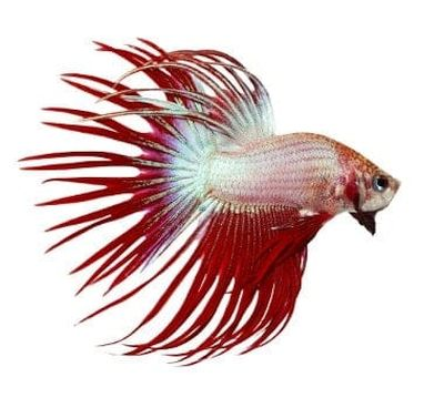 jenis ikan Cupang Crown Tail (CT)