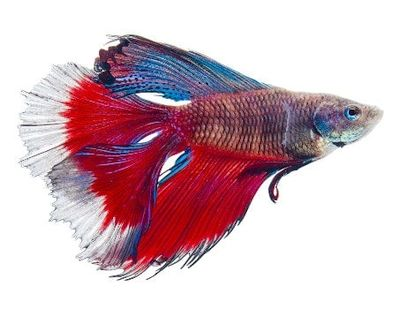 jenis ikan Cupang Double Tail (DT)