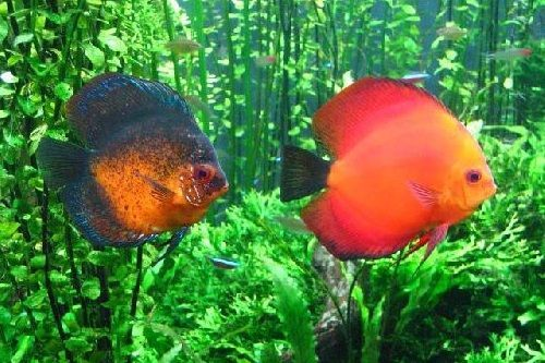 Ikan discus stres