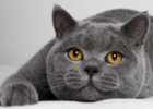 kucing chartreux