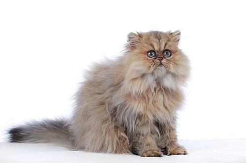 Gambar kucing persia 1