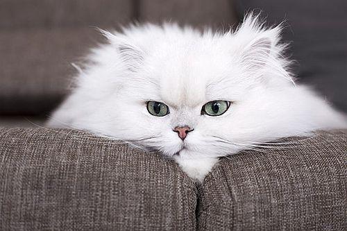 Gambar kucing Persia 10