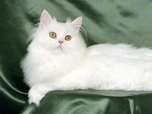 Gambar kucing Persia 11