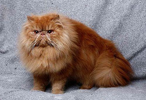 Gambar kucing Persia 12